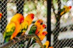 Beautiful colorful parrot, Sun Conure Aratinga solstitialis, s. Ide profile Stock Photography