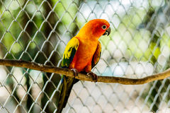 Beautiful colorful parrot, Sun Conure Aratinga solstitialis, s Royalty Free Stock Photography