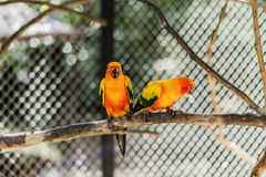 Beautiful colorful parrot, Sun Conure Aratinga solstitialis, s Royalty Free Stock Images