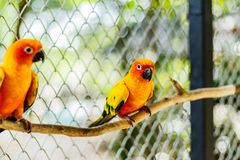 Beautiful colorful parrot, Sun Conure Aratinga solstitialis, s Stock Photos