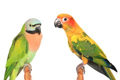 Free Beautiful Colorful Parrot, Sun Conure Parakeet Aratinga Solstitialis And Female Red-breasted Parakeet Psittacula Alexandri On Royalty Free Stock Image - 149529616