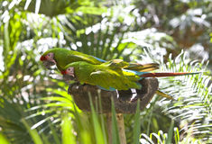 Beautiful colorful parrots Stock Photography
