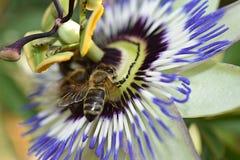 Beautiful colorful passiflora my garden royalty free stock image