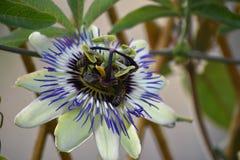 Beautiful colorful passiflora my garden stock photos