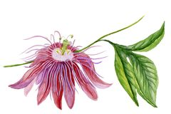 Beautiful colorful passiflora passion flower on a twig with green leaves. Isolated on white background. Watercolor painting. Hand painted floral illustration royalty free illustration