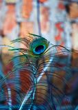 Colorful peacock feathers. Beautiful colorful peacock feathers shine royalty free stock photography