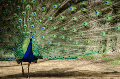 Beautiful and colorful peacock in a park full of feathers. Beautiful and colorful male peacock in a park full of feathers royalty free stock photo