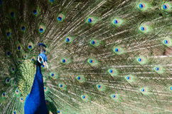 Beautiful and colorful peacock in a park full of feathers Stock Images