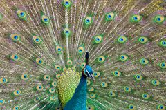 Beautiful peacock showing his feathers stock image