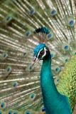 Beautiful peacock. Beautiful colorful peacock in wild nature Stock Photos