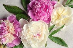 Beautiful colorful peony flowers. Closeup Royalty Free Stock Photos