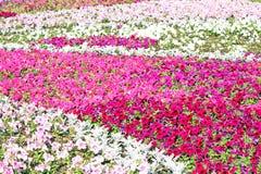 Beautiful colorful petunias Stock Image