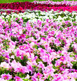 Beautiful colorful petunias Royalty Free Stock Photo