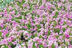 Beautiful colorful petunias Stock Photography