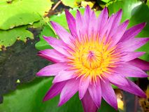 Pink lotus flower blooming on the water with leaf royalty free stock image