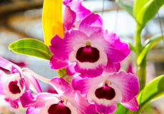Beautiful colorful pink orchids in natural background Stock Image