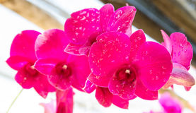 Beautiful colorful pink orchids in natural background Royalty Free Stock Photo