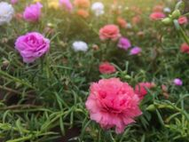 Beautiful colorful portulaca flower in garden with sunlight. stock photo