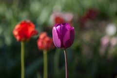 Beautiful colorful purple tulips flowers bloom in spring garden. Decorative wallpaper with violet tulip flower blossom in springtime Royalty Free Stock Photography