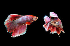 Beautiful and Colorful red Betta fish. Beautiful and Colorful Betta fish, siamese fighting fish, betta splendens isolated on black background Royalty Free Stock Photos