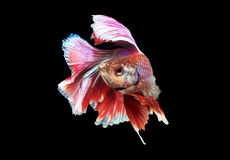 Beautiful and Colorful red Betta fish. Beautiful and Colorful Betta fish, siamese fighting fish, betta splendens isolated on black background Stock Image