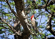 Red Crested Cardinal bird. Beautiful colorful Red Crested Cardinal Bird in tree in Hawaii royalty free stock photography