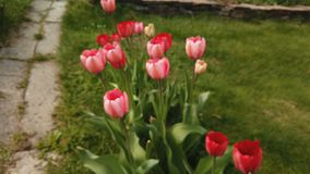 Beautiful colorful red tulips flowers bloom in spring garden. Decorative tulip flower blossom in springtime. Footage of beautiful colorful red tulips flowers stock video footage