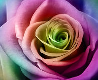 Beautiful colorful rose Stock Photos