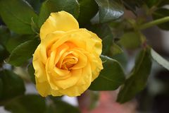 Beautiful rose in my garden in the sunshine royalty free stock photos