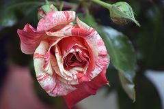 Beautiful rose in my garden in the sunshine royalty free stock photo