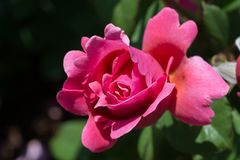 Beautiful colorful Rose Flower Royalty Free Stock Photography