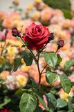 Beautiful colorful Rose Flower Royalty Free Stock Photo