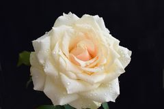 Beautiful colorful rose in my garden stock photos