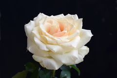 Beautiful colorful rose in my garden royalty free stock photo