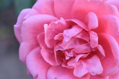 Beautiful colorful rose in the sunshine stock images
