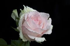 Beautiful colorful rose with the water drops close up Royalty Free Stock Photography