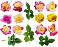Rose collection 2 royalty free stock image