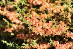 Beautiful and colorful Salsola Oppositifolia flowers under the sun in Autum royalty free stock photo