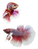 Beautiful and Colorful Siam fighting fish. Beautiful and Colorful Siam fighting fish on white background Royalty Free Stock Images