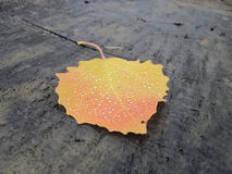 Beautiful colorful single autumn leaf covered with raindrops Royalty Free Stock Images