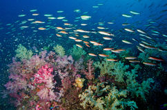 Beautiful colorful soft coral with diver, Similan, Thailand. Royalty Free Stock Images