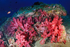 Beautiful colorful soft coral, Similan, Thailand. Royalty Free Stock Photo
