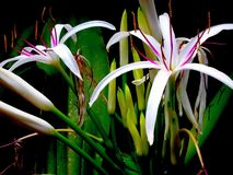 The Amazing Spider Lily royalty free stock photos
