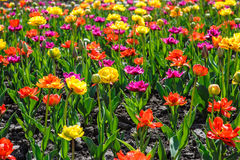Beautiful colorful spring flowers in the flowerbed Royalty Free Stock Photos