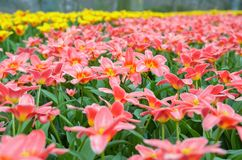 Beautiful colorful spring flowers in park in Netherlands Holland Royalty Free Stock Photos