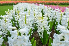 Beautiful colorful spring flowers in park in Netherlands Holland Royalty Free Stock Image
