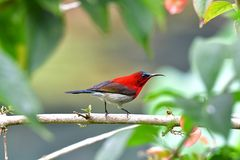 So Cute Sunbird. stock image