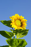 Beautiful colorful sunflower head leaves blue sky Royalty Free Stock Photography
