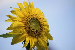 Beautiful colorful sunflower in my garden stock photography