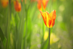Beautiful colorful sunny tulip flower background Royalty Free Stock Photo